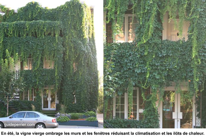 Murs verts vigne vierge houblon et grimpants rustiques for Vert urbain maison de ville