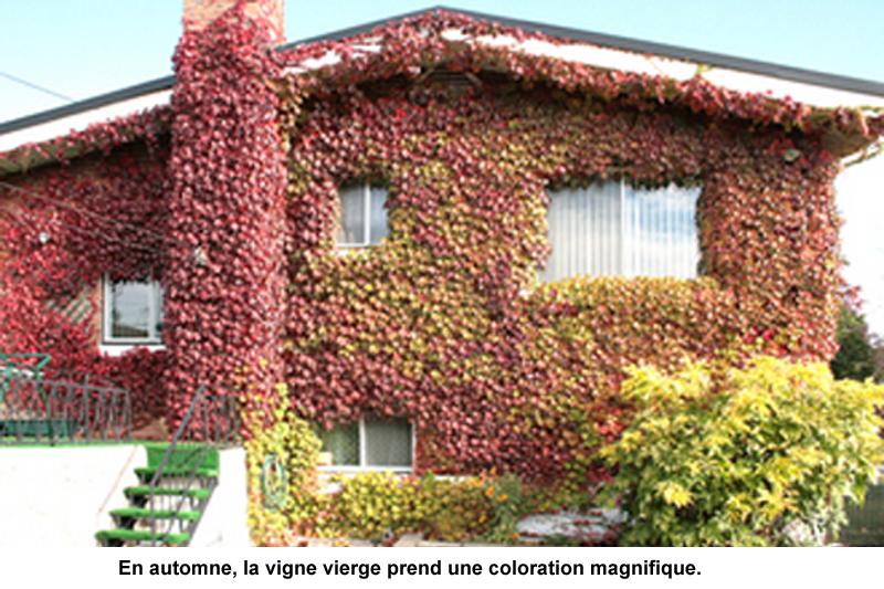 murs-verts vignes grimpants